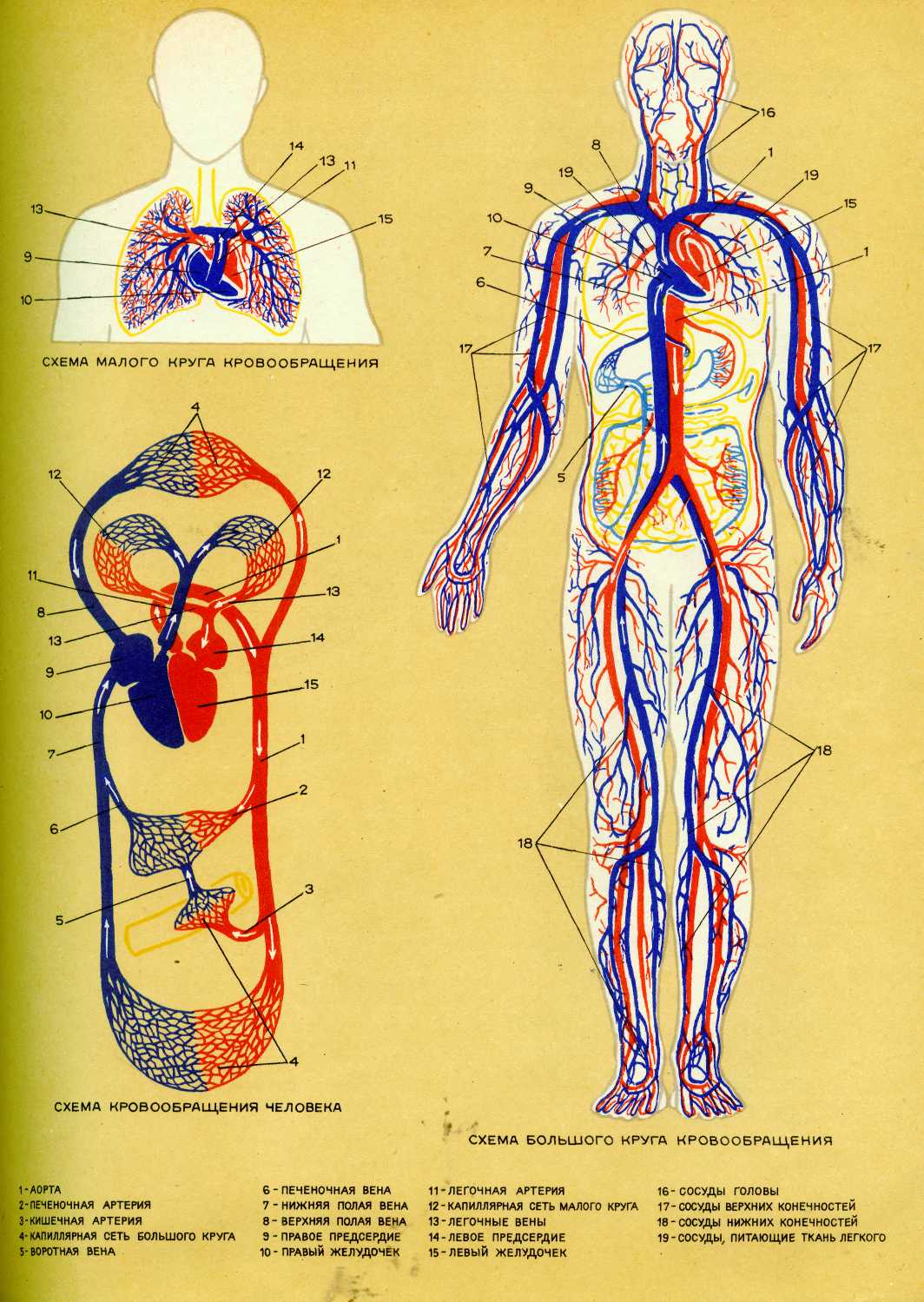 Большой и малый круг кровообращения схема кратко