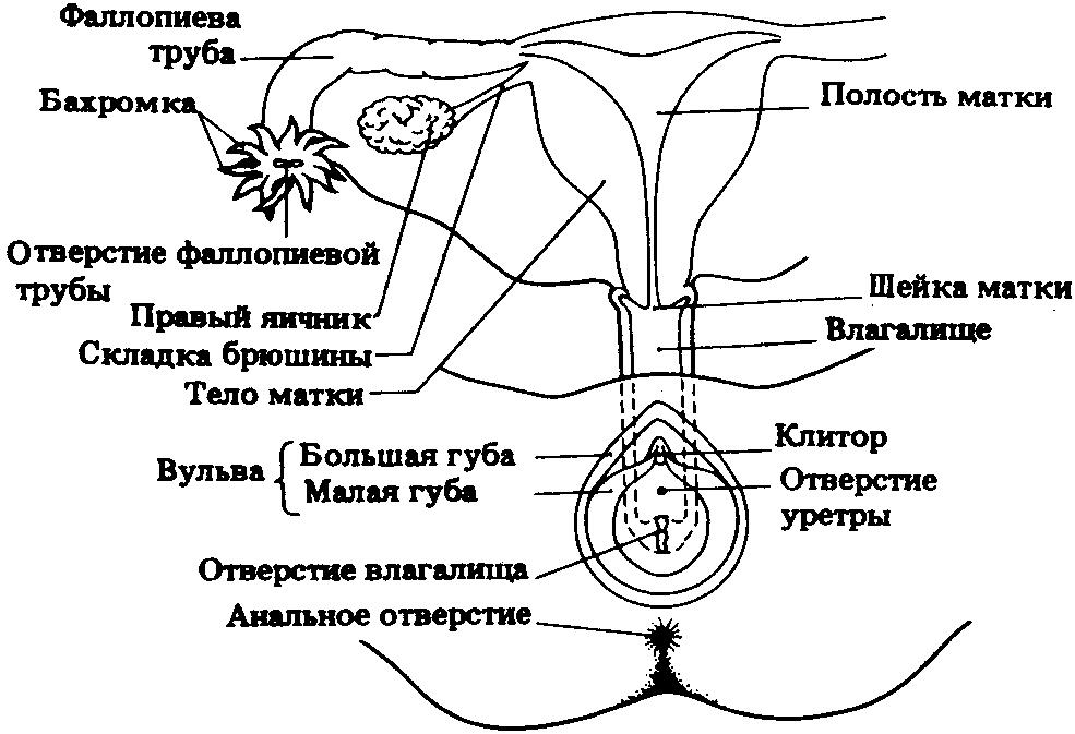 Схема влагалище